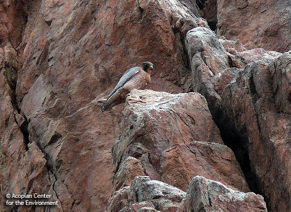 peregrine-on-cliff2