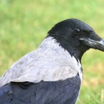 The Number and Trends of Breeding Carrion Crows in Yerevan